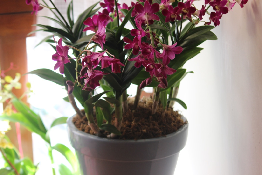 Nyambura.co - How to grow Orchids