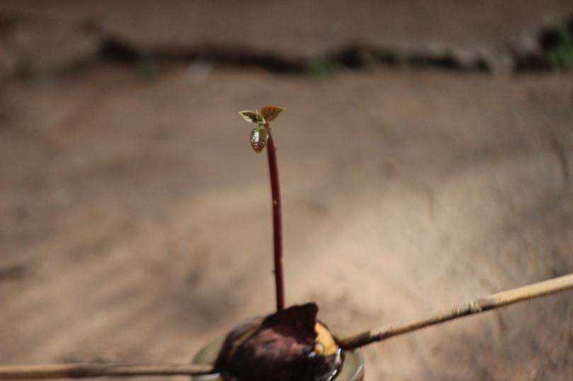 Nyambra.co - How to grow an avocado tree